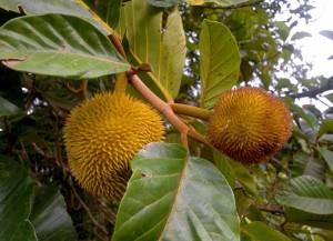 muda-mini-jaca-dourada-artocarpus-hirsutus-plantamundo-21064-MLB20202564006_112014-F